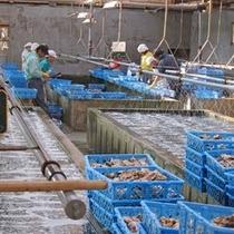 浄化された安心の牡蠣