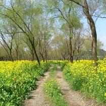 河川敷の菜の花