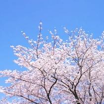 【伊豆高原さくら祭り】毎年3月下旬〜4月上旬
