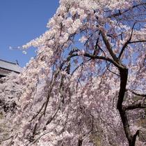 上田城千本桜