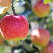 信州りんご狩り