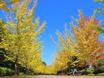 【10-11月】ミューズパークのイチョウ並木★3kmに500本の並木道。