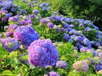 【6月・7月】皆野町美の山公園のあじさい園・車20分。梅雨期に山の斜面に咲きます。7月上旬まで。