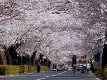 【4月】北桜通り・徒歩1分★当館よりすぐそこ、4km600本に及ぶ桜のトンネルは、上旬が見頃♪