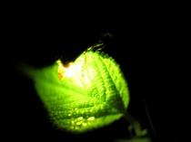 【6・7月】ホタル鑑賞・天然のイルミネーションの世界へ。ホタル観賞送迎付きプランあります♪
