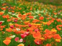 【5・6月】オレンジ色を中心とした別名カリフォルニアポピー。当館からも徒歩圏内。