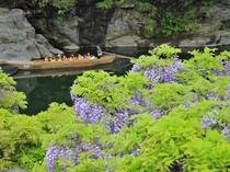 【GW】自生のフジ開花にあわせて岩畳で藤まつりが開催。当館庭園でも藤色のほかに白いフジも咲きます。