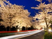 【4月】北桜通り・徒歩1分★手前部分ではライトアップも実施。夜桜観賞をどうぞ。