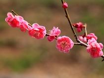 【2-3月】宝登山頂にて、2019年の梅まつりは2月23日から3月17日。
