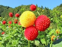 【9~10月】小鹿野町両神のダリア園は大自然の中色とりどりの鮮やかなダリアが咲きます♪