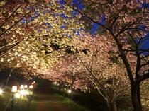 【4月】通り抜けの桜・徒歩20分★ライトアップも実施。当館からの夜桜観賞の送迎付きプランございます♪