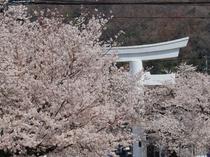 【4月】宝登山参道・徒歩5分★普段はバッチリ見える鳥居を覆い隠すほど。宝登山神社にかけての桜並木。