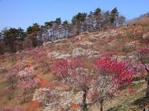 【2-3月】梅百花園では170種470本の様々な梅が見られます。