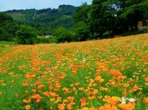 【5・6月】長瀞ハナビシソウ園・徒歩12分★初夏のお花スポット。