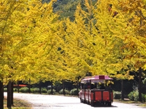 【10-11月】スカイトレインも運行されておりのんびりイチョウ観賞もできます♪