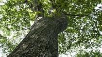 ◆支笏の森「散策路」/樹齢150~200年ほどの「ミズナラの巨木」
