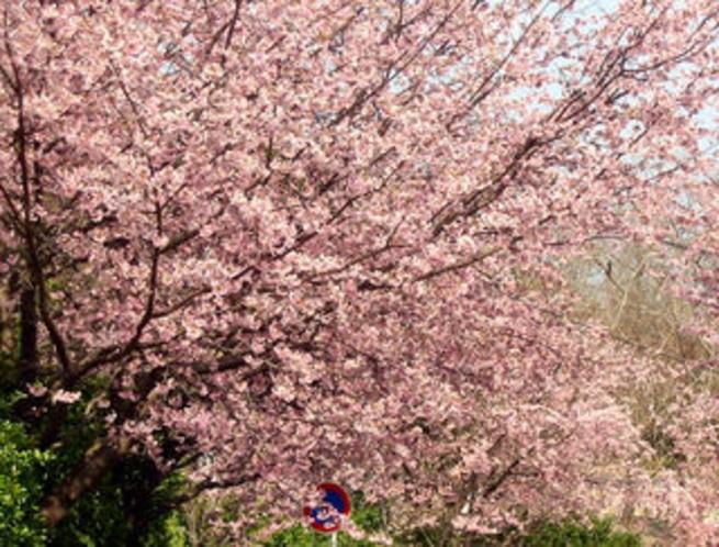 満開の大寒桜