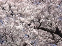 228満開の桜