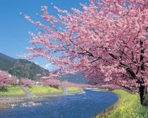 河津桜・川沿い
