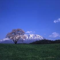 周辺情報:小岩井一本桜