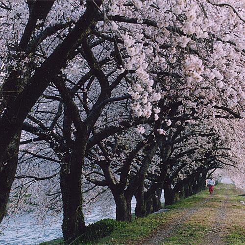 桜のトンネル 舟川の川辺