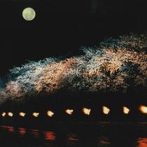 隠れた富山の桜の名所!舟川べりの桜です。