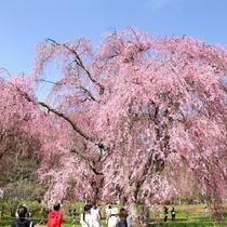 米内浄水場 桜