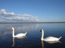 「ウトナイ湖」の白鳥