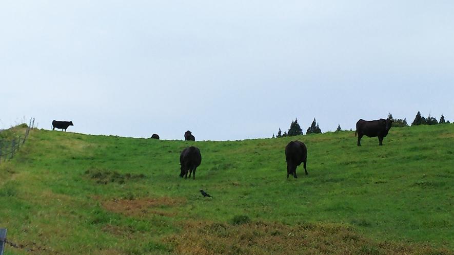 月山高原牧場牛