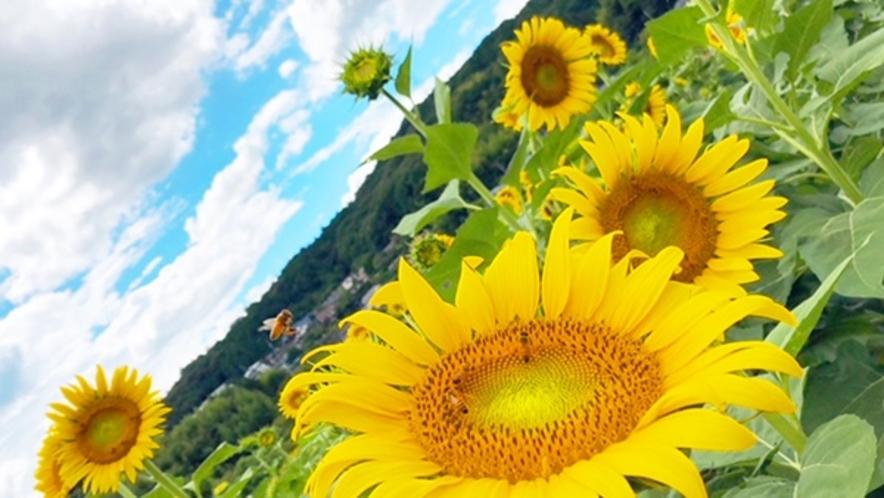 *【8月】五條市上野町のひまわり畑はインスタ映えします♪