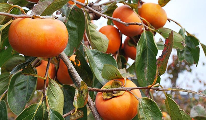 *【10月】五條市西吉野■日本一の柿のまち☆☆富有柿は11月に!!