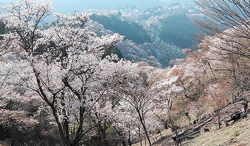 *吉野山・春の山桜【吉野町】多くの観光客が訪れる絶景スポット