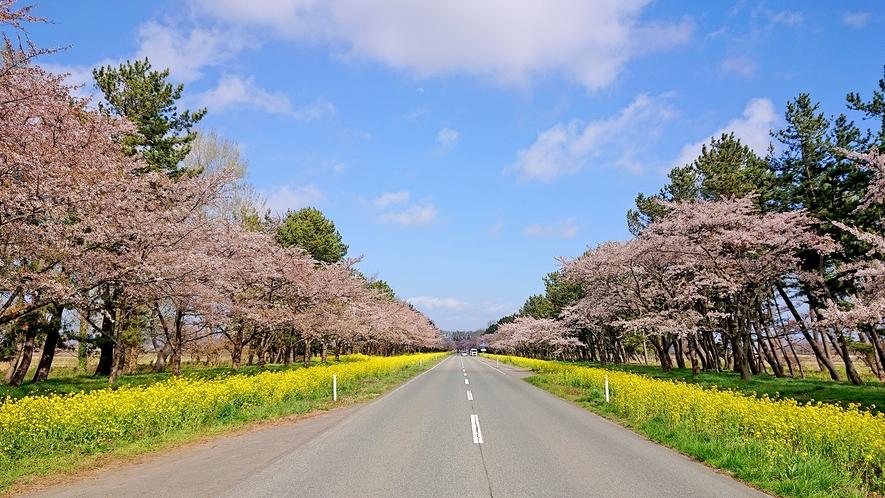 桜&菜の花ロード