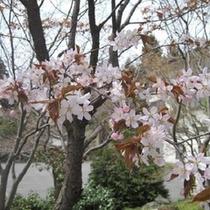 当館の日本庭園の桜です