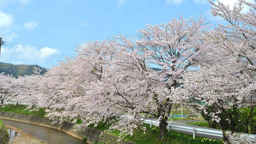 【春】5月には桜が咲き誇ります