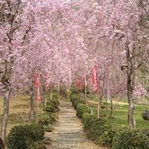 光西寺のしだれ桜(4月中旬〜4月下旬)お車で約3分