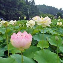 荒川花はす園(6月下旬〜7月下旬)お車で約30分