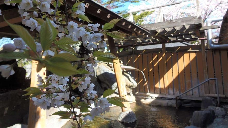 ・露天風呂と桜
