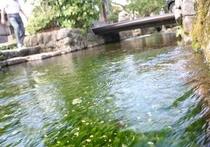 ≪観光≫醒ヶ井の地蔵川『梅花藻』
